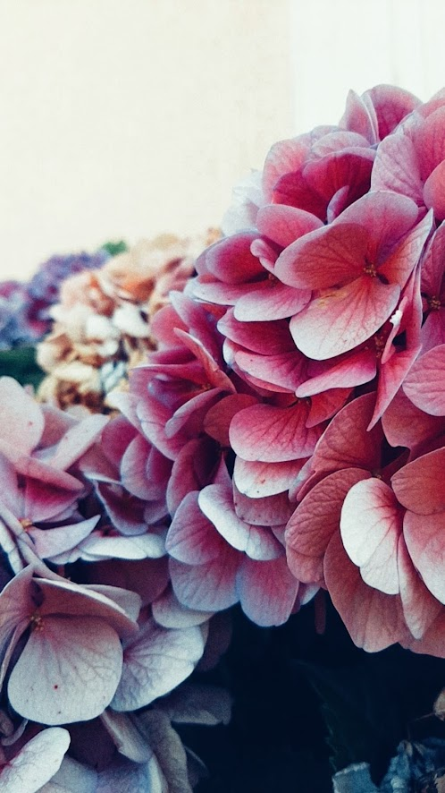 hortensia-outside
